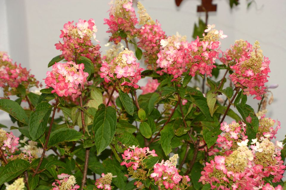Panicle hydrangea blooming in pink and white.