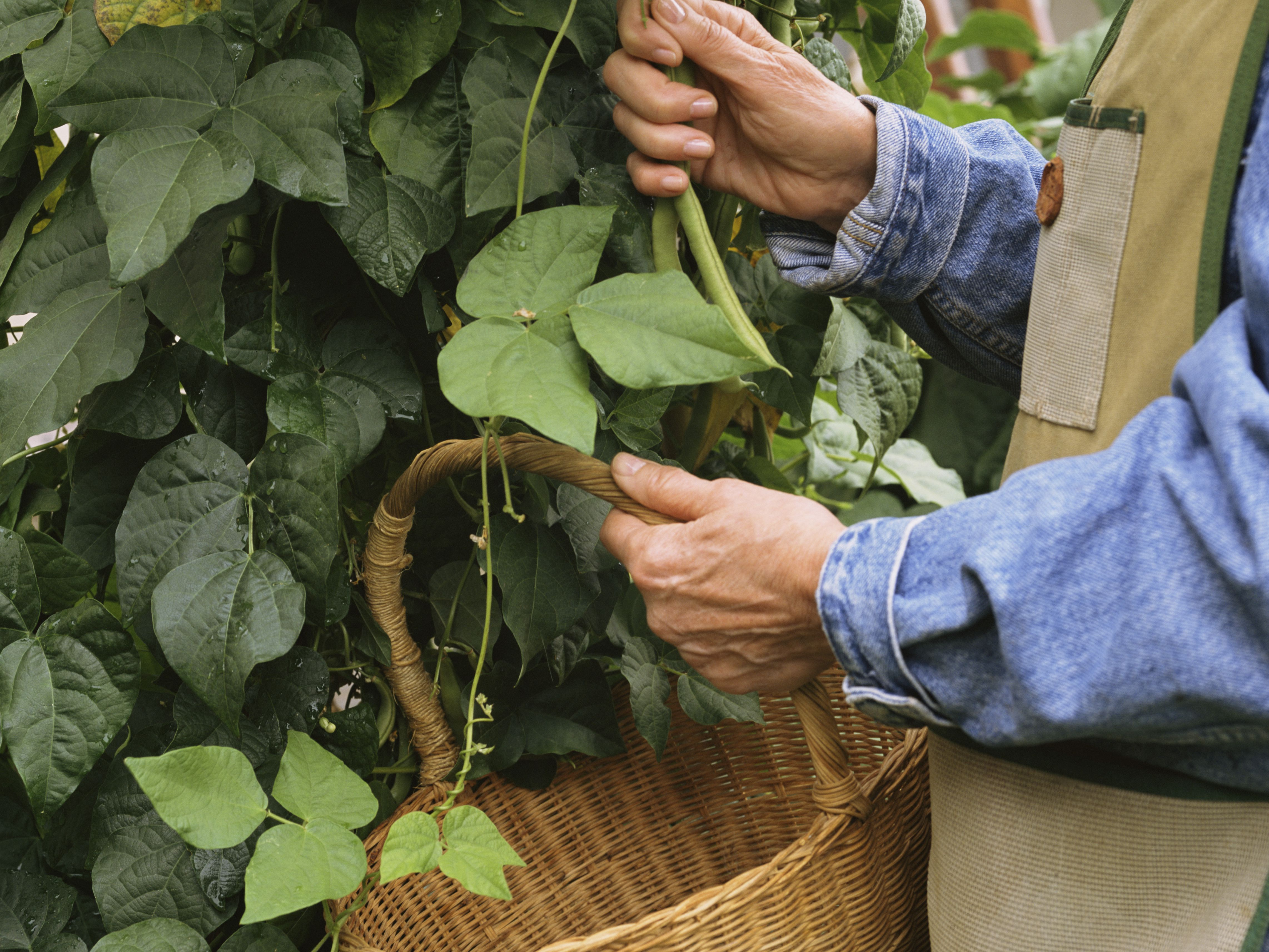 How to Grow a Fall Crop of Beans
