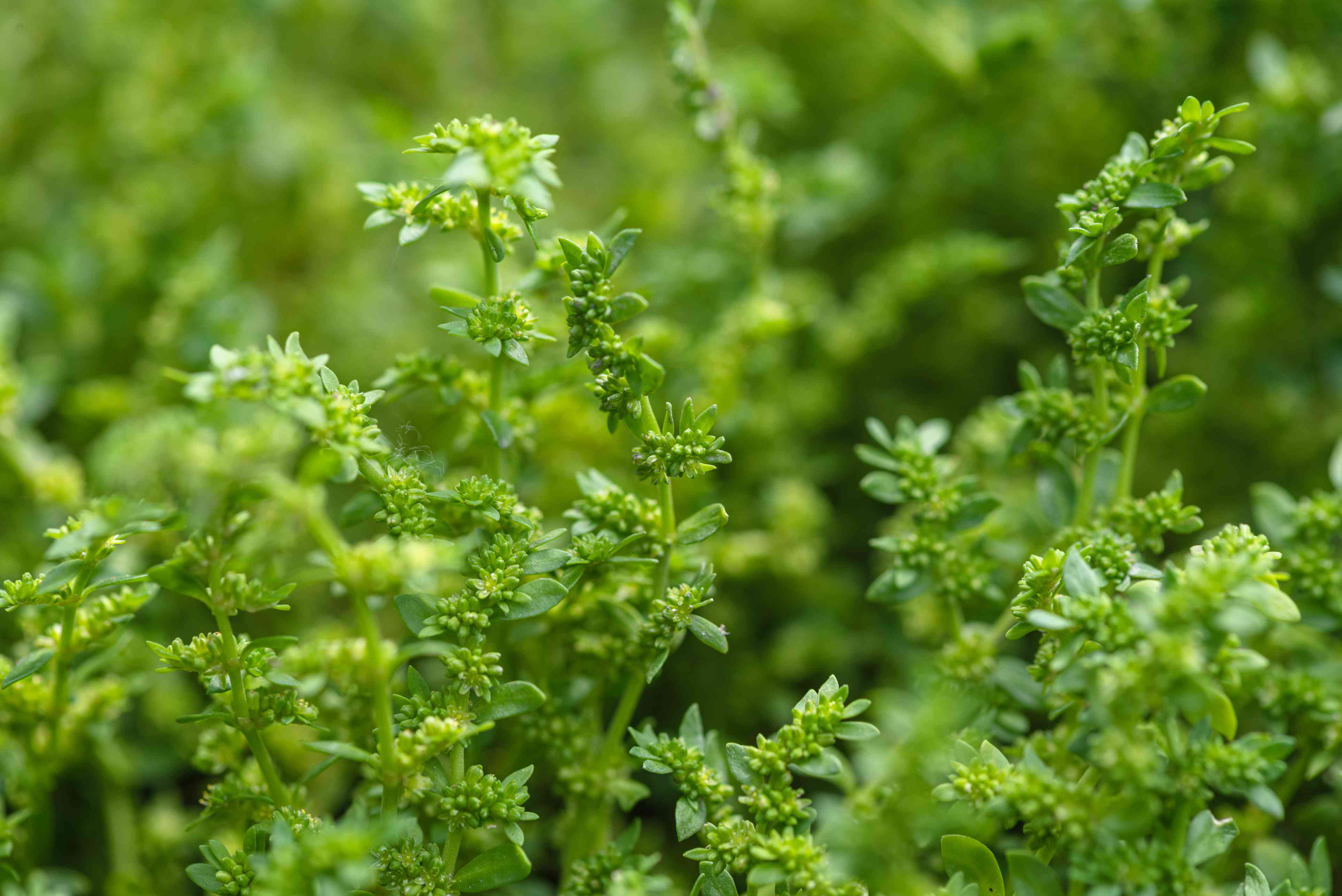 Rupturewort ground cover stems with dense evergreen leaves closeup