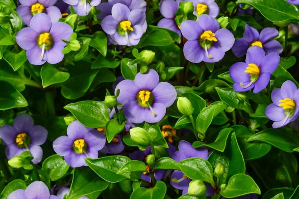 Persian violet plant with blue-violet star-shaped flowers in between bright green leaves and buds