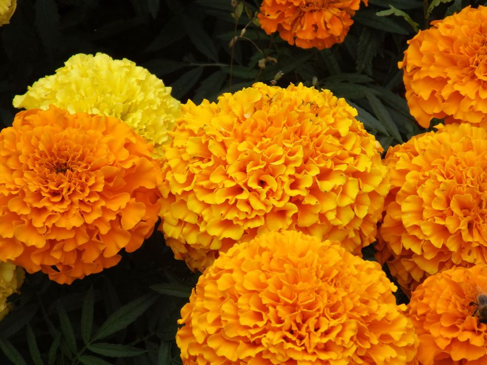 Close-up of marigolds In a park
