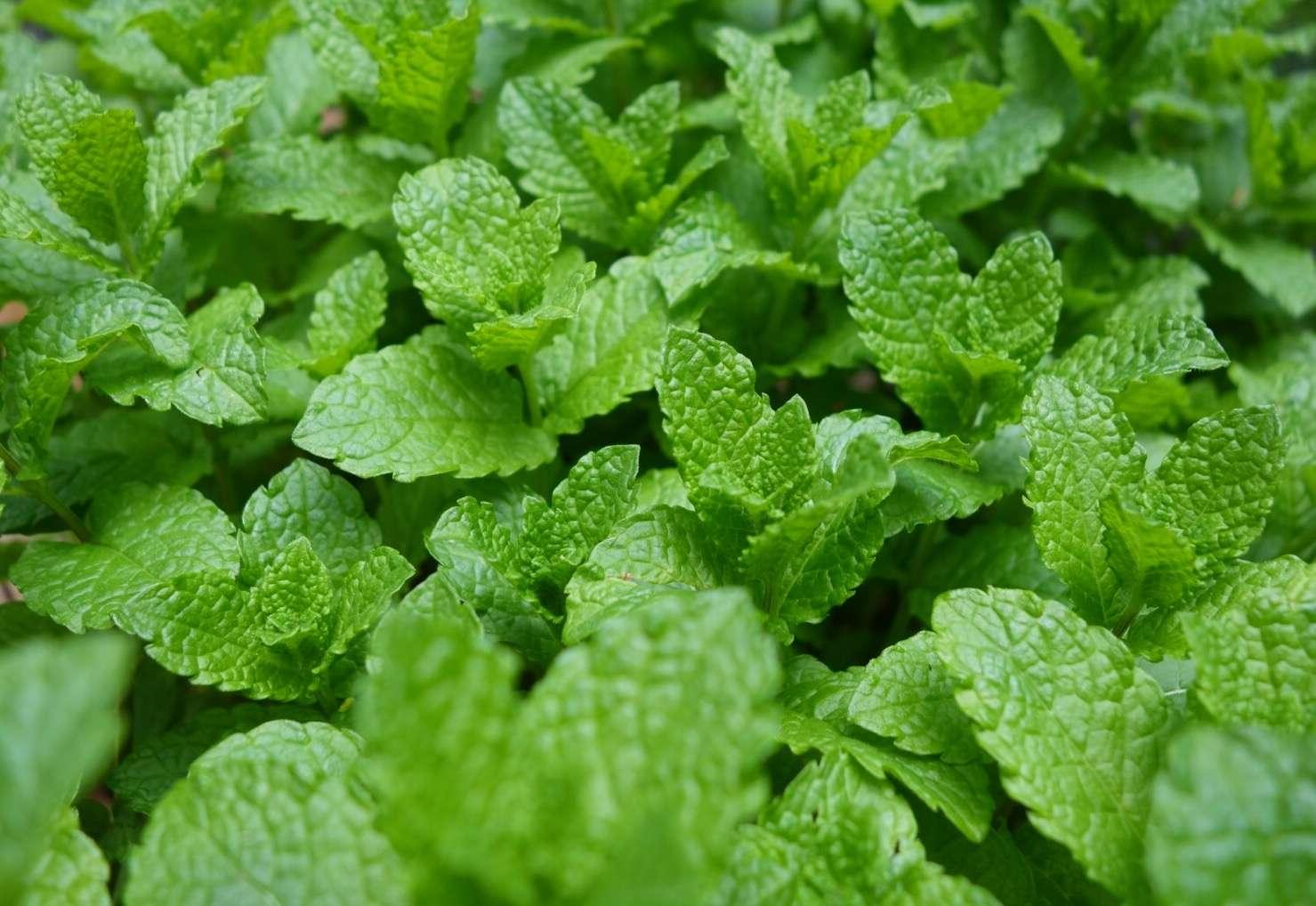 Closeup of mint leaves