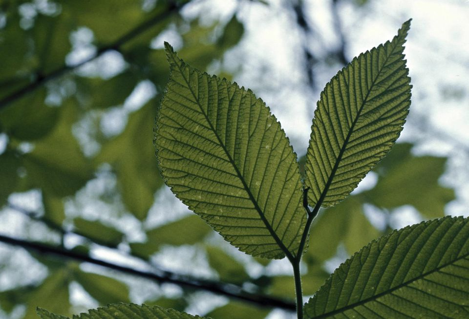 SLIPPERY ELM LEAVES, ULMUS RUBRA. DICOT LEAVES - ELM TREE. INNER BARK COLLECTED & POWDERED FOR THERAPUTIC USE