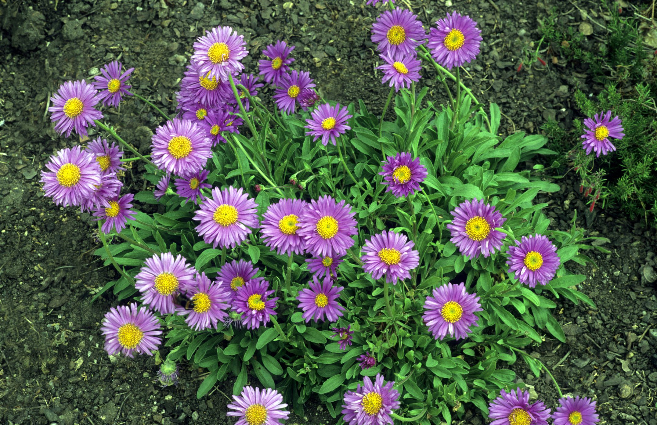 Grow perennial aster flower plants for fall blooms izmirmasajfo