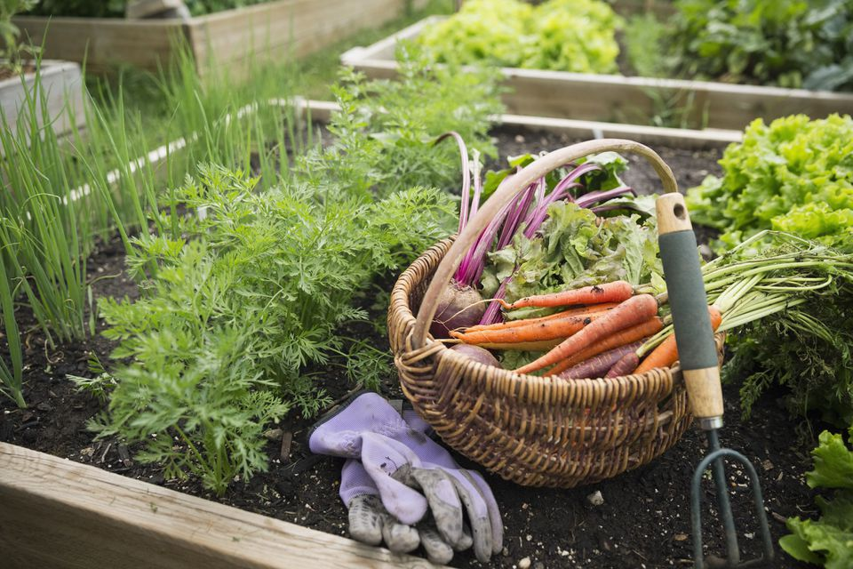 Growing and harvesting a vegetable garden