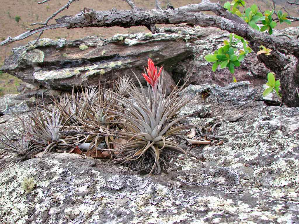Didsticha air plant with brownish-gray leaves and a red bloom