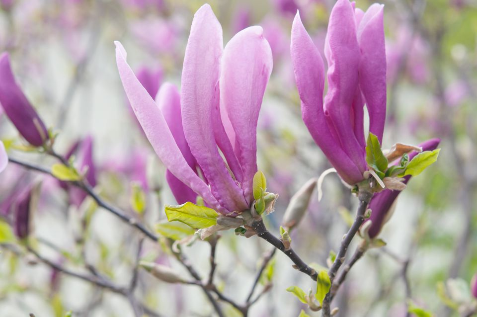 lily magnolias