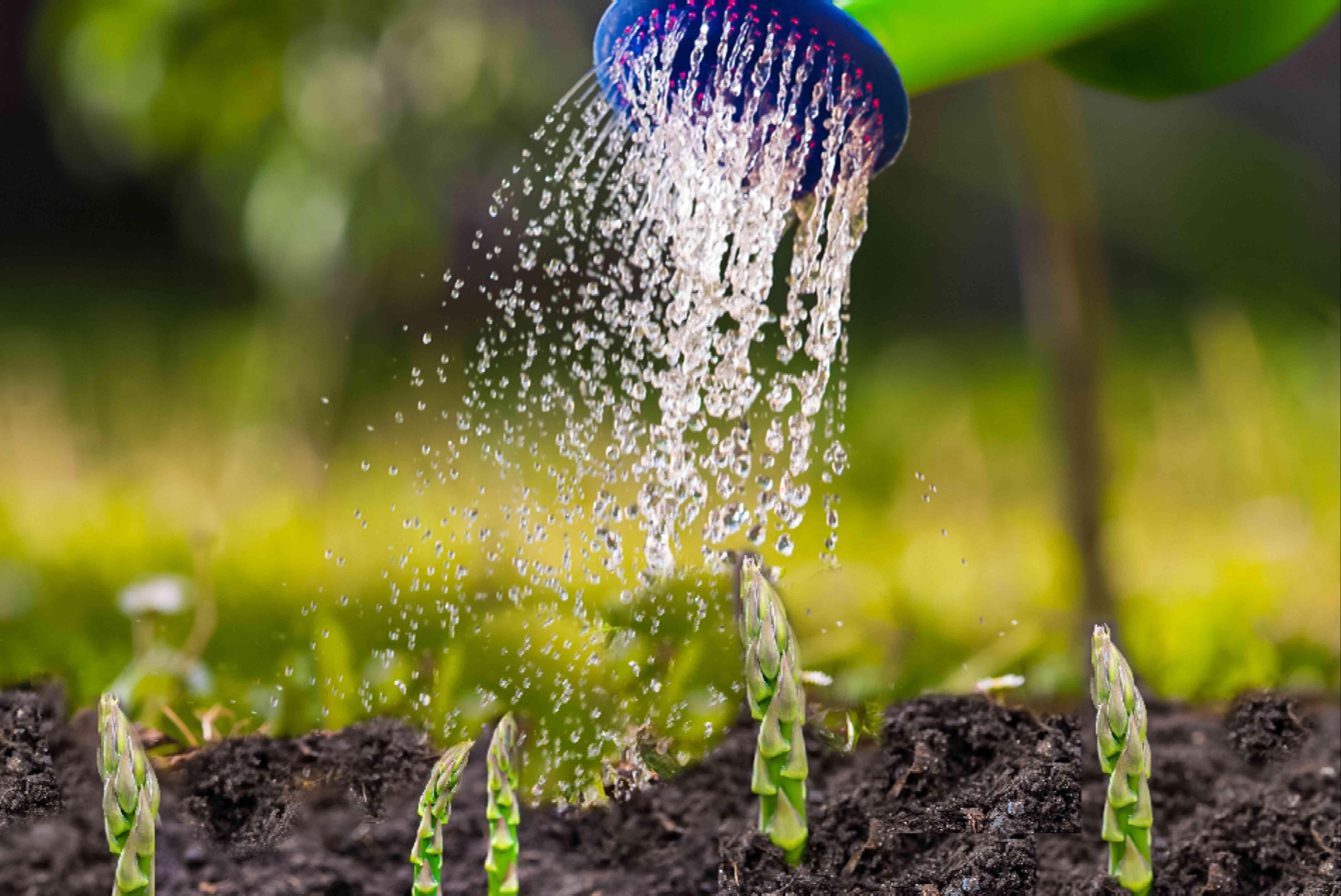 watering asparagus