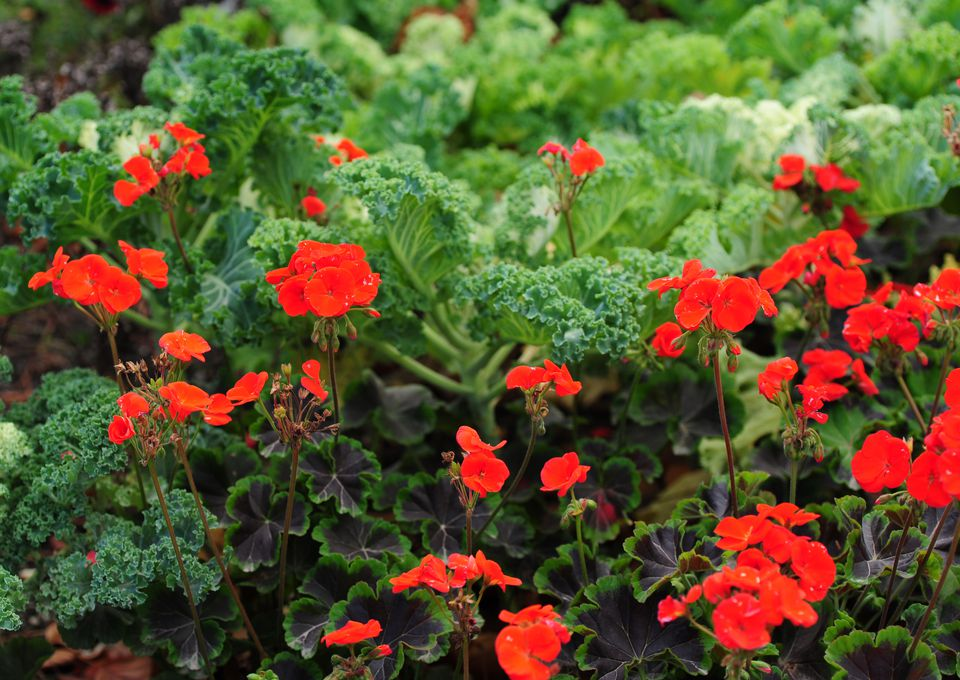 Geranium flowers with small red petals mixed with other plants and greens