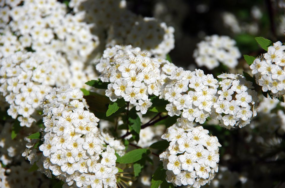 10 best shrubs with white flowers closeup of spirea bush with white flowers that have yellow centers mightylinksfo