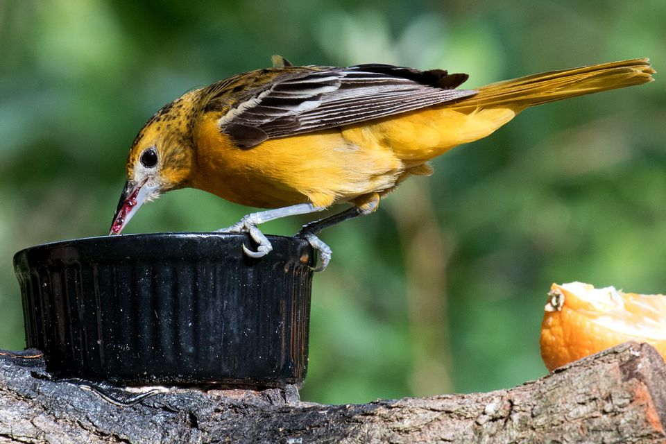 Female Oriole at a Jelly Feeder