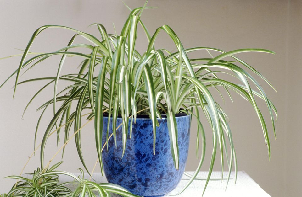 Spider Plant (Chlorophytum) in a blue pot