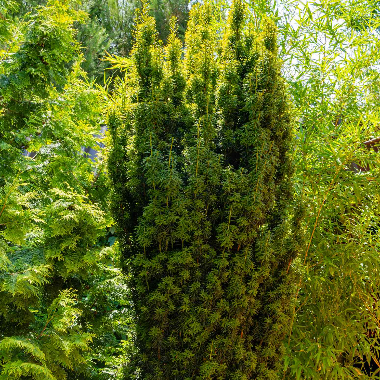 Tall yew bush Taxus baccata Fastigiata Aurea (English yew, European yew) on a blurred background of green evergreens. Selective focus. Evergreen landscaped garden. Nature concept for design.