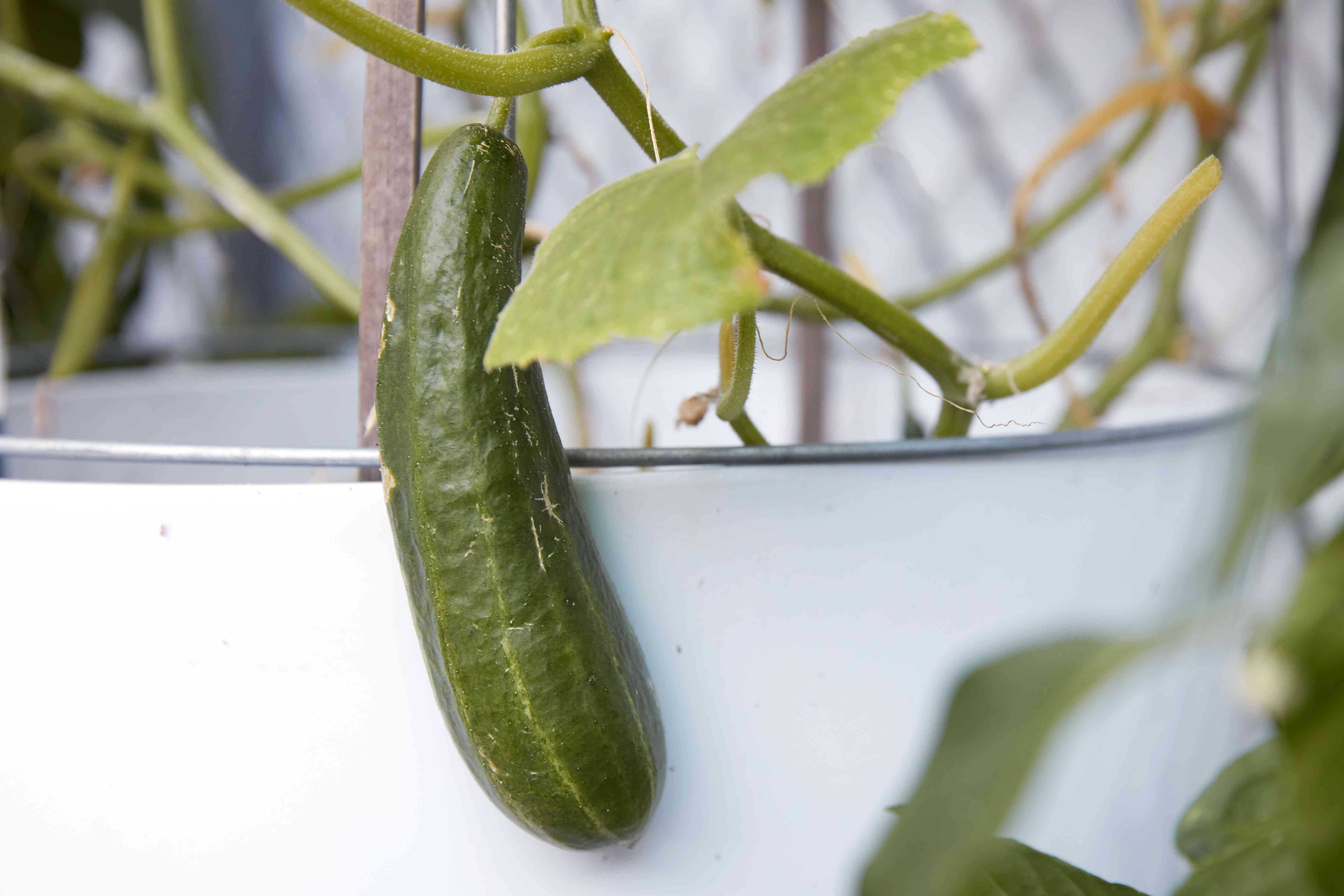 cucumber growing in a container