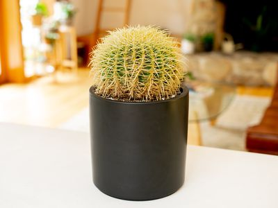 Round spiky cactus in tall black pot on white surface indoors