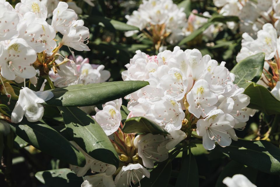 white rhododendron variety