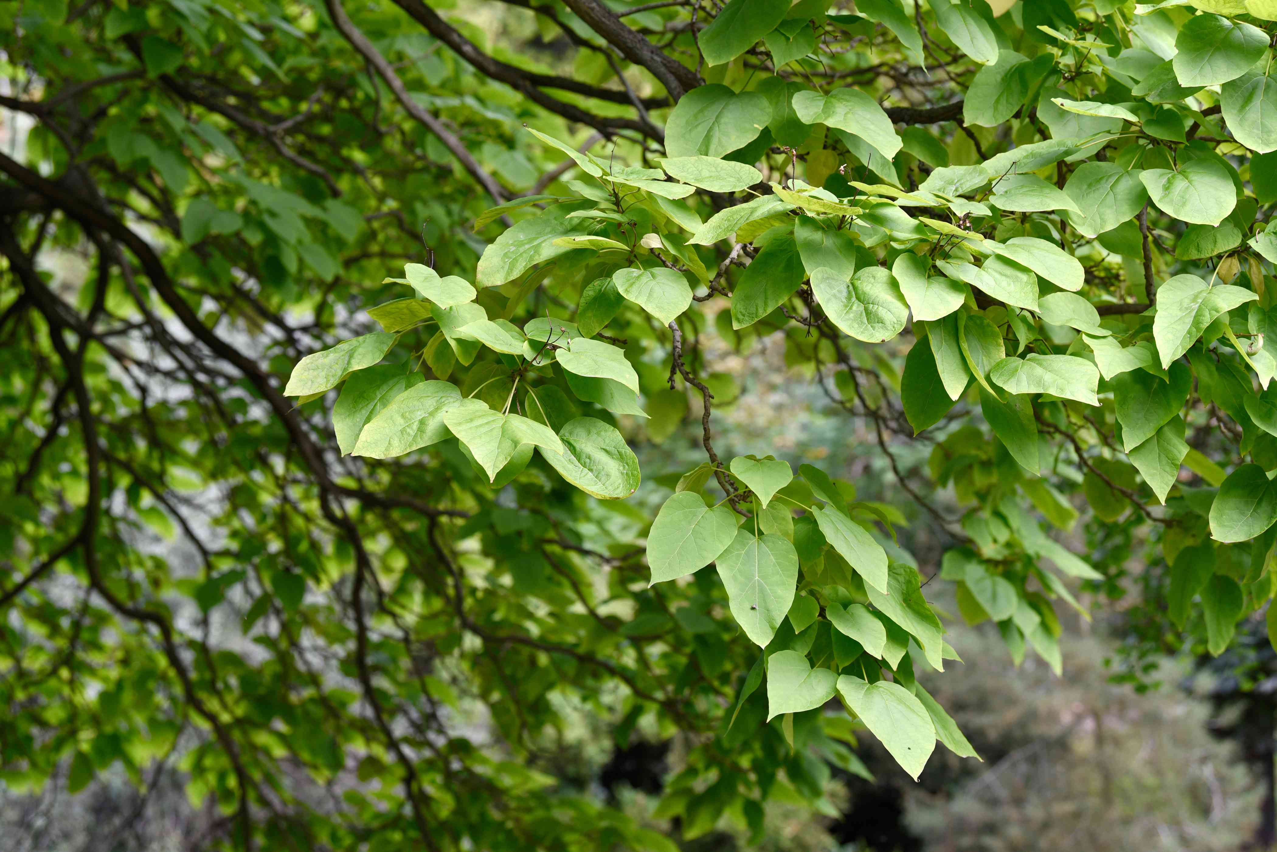 Catalpa tree branches with bright green and heart-shaped leaves hanging