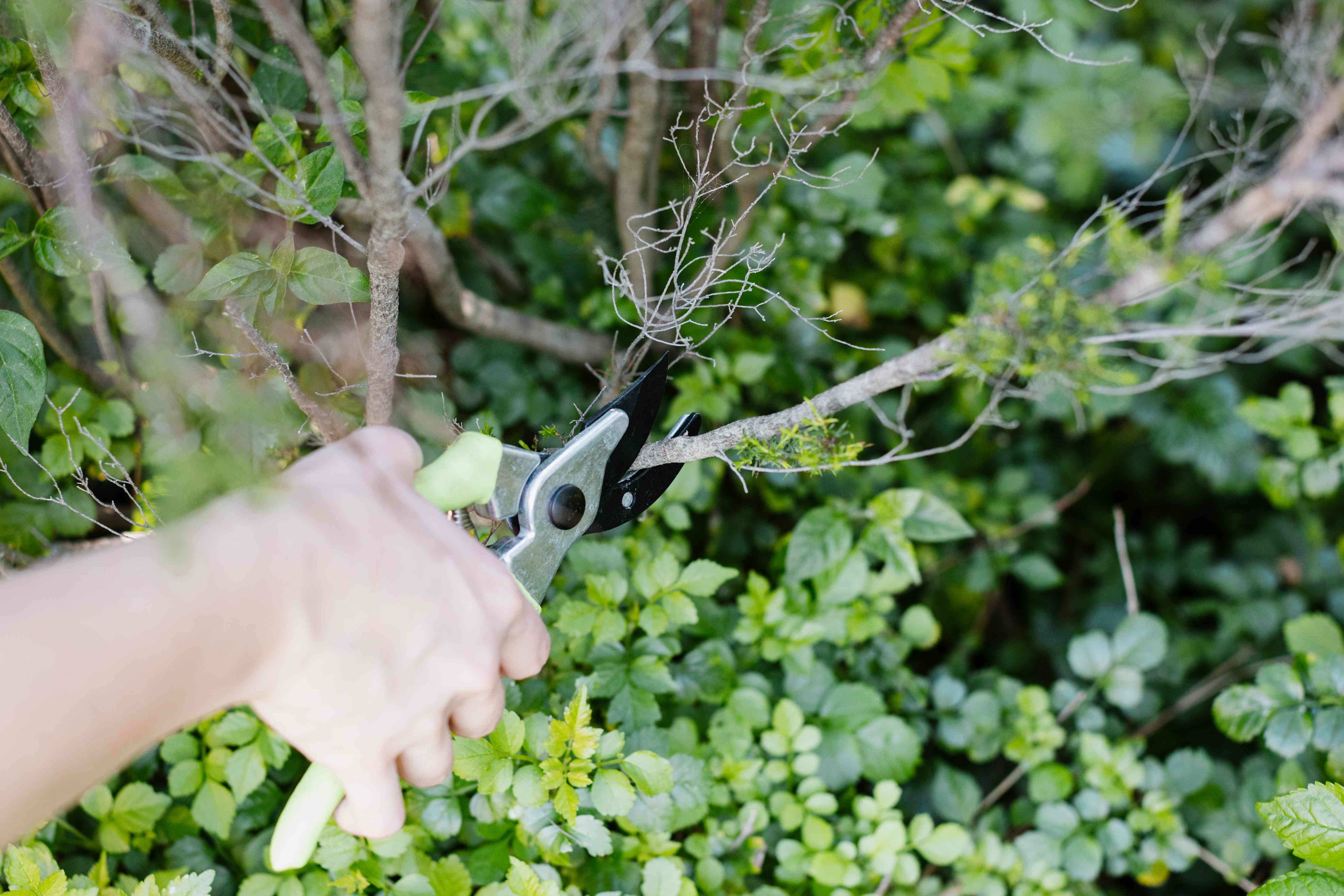Evergreen shrub with dead branches being cut off with handheld pruners