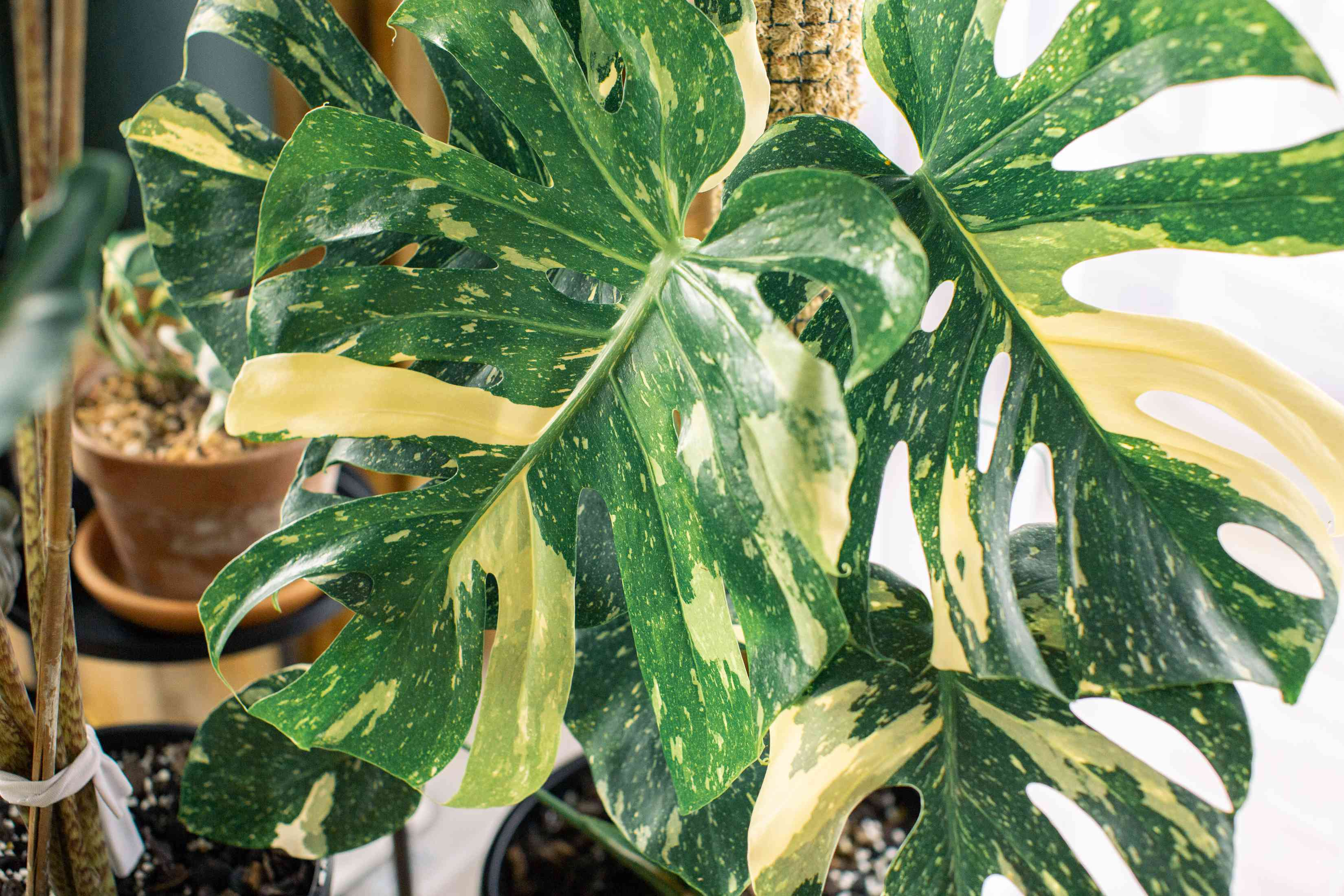 Monstera deliciosa 'Variegata' plant with white and green splotches on leaves closeup