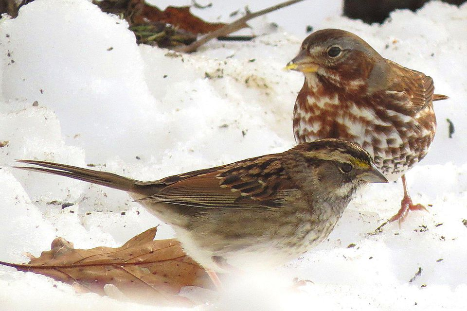 White-Throated Sparrow and Fox Sparrow