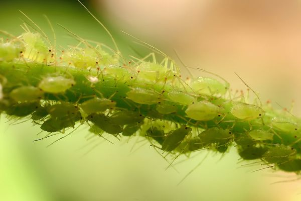 March of the Aphids