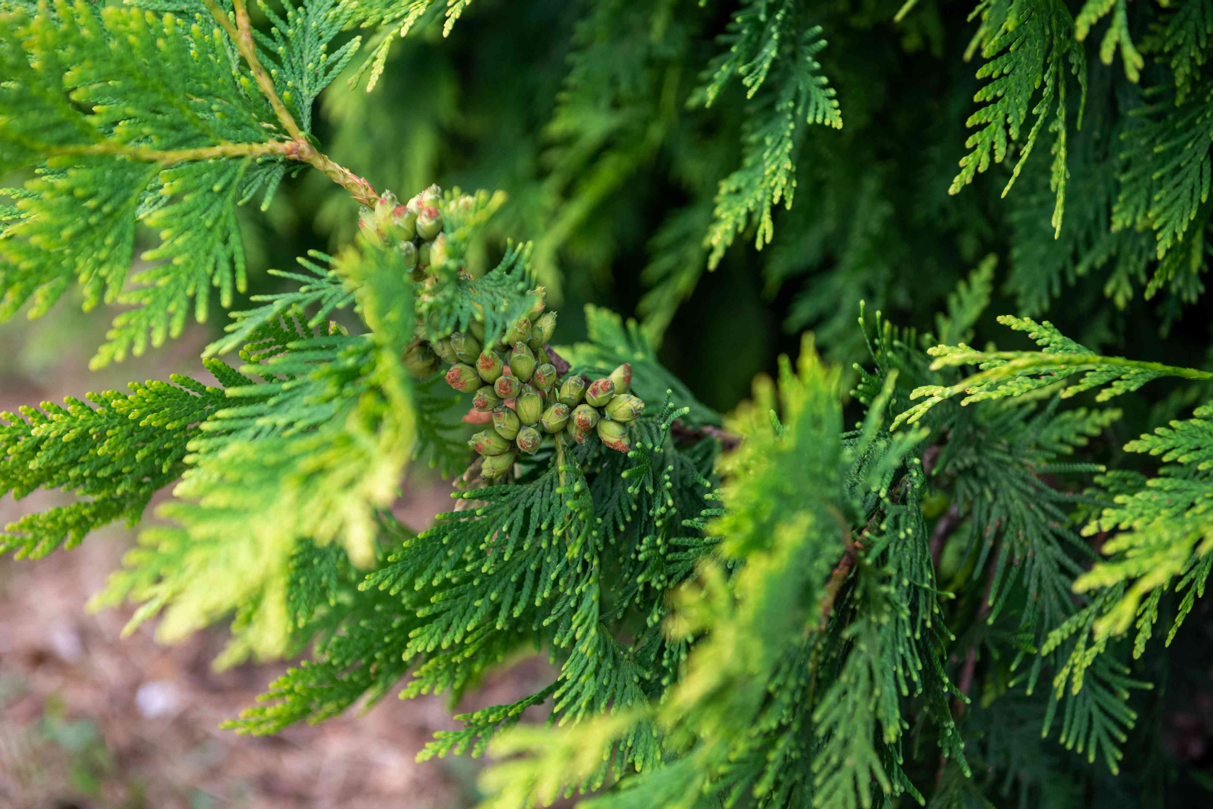 Giant arborvitae branches with small scale-like leaves surrounding tiny green seeds