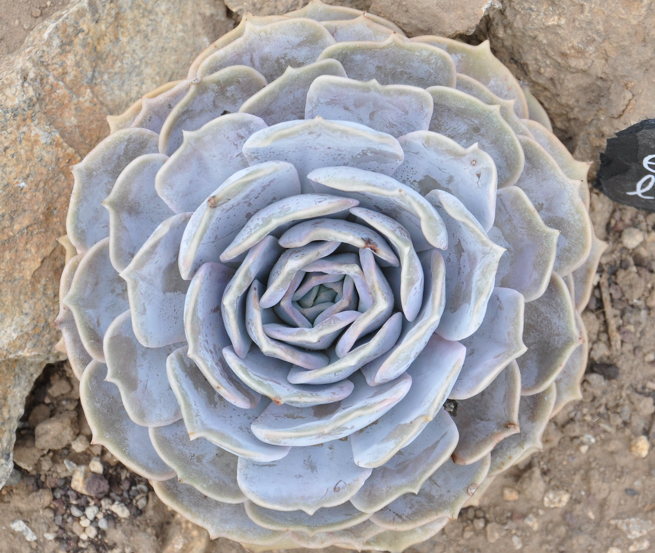 Ghost echeveria with silvery leaves