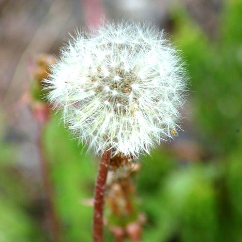 The seeds of dandelions