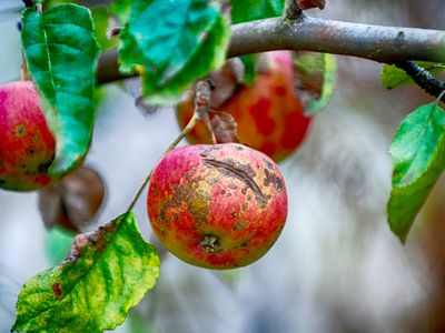 Spotting and cracking of apples caused by apple scab
