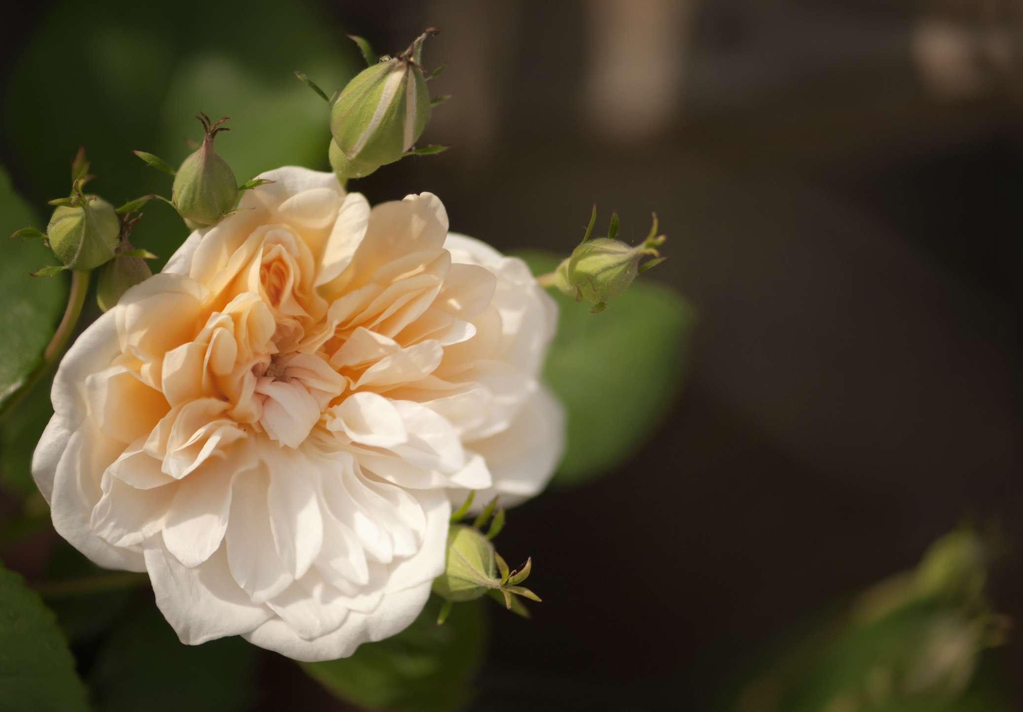 Noisette rose closeup.