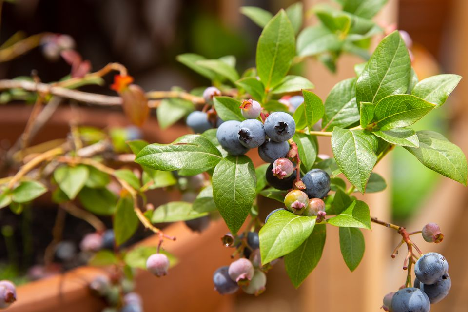 Blueberry bush stem with blue, pin and green blueberries surrounded by leaves in container