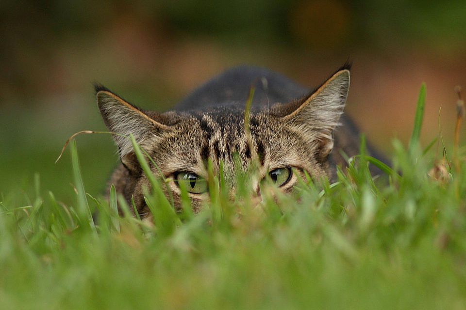 Cat crouching in grass