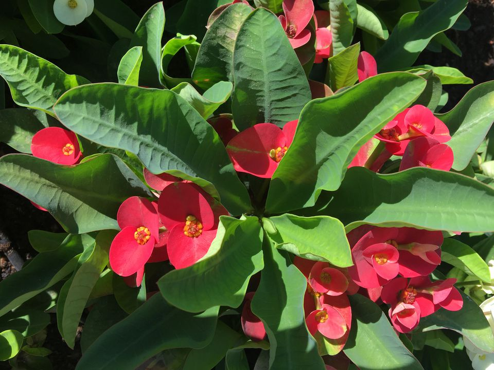 Crown of Thorns Plant