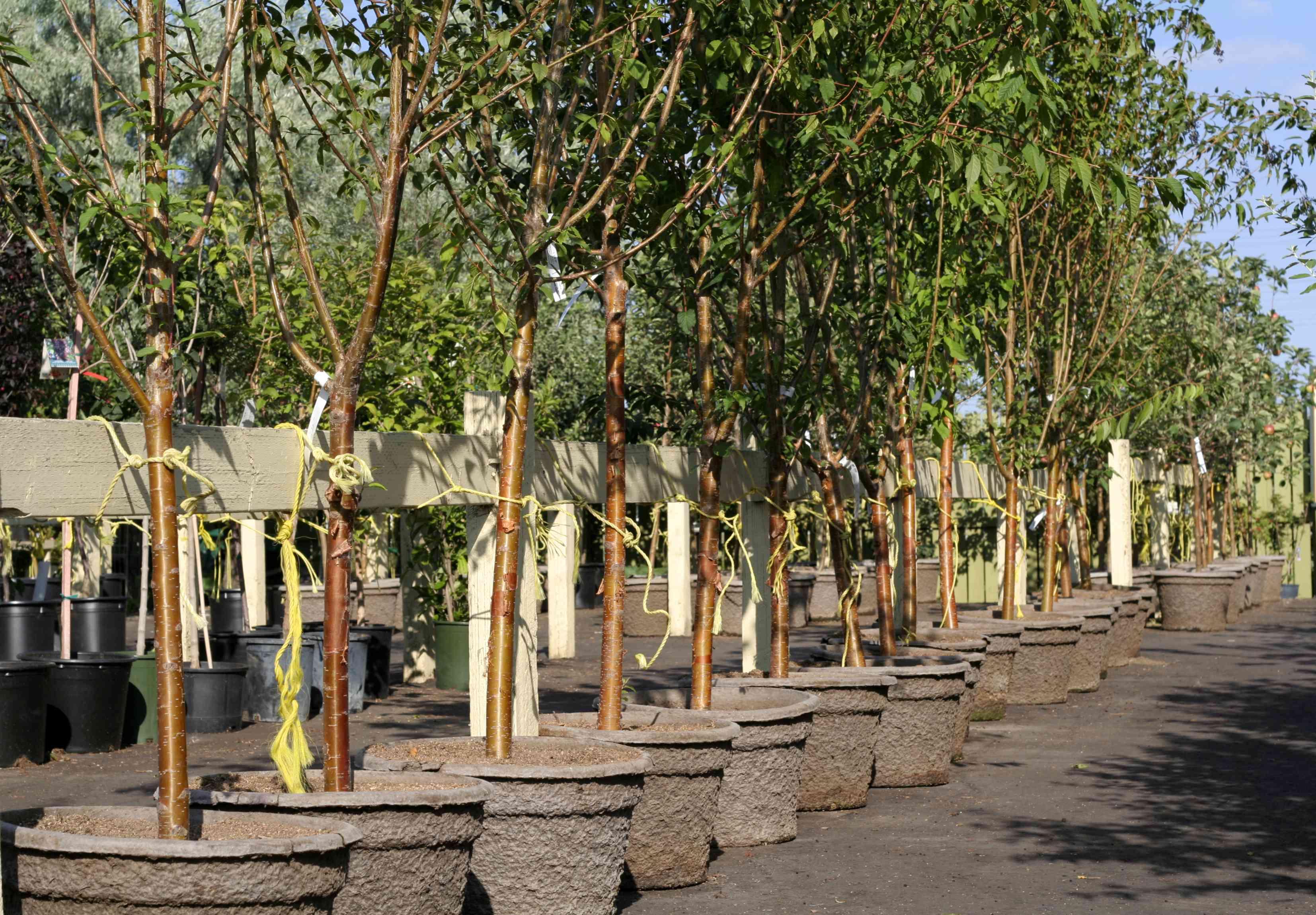 A row of trees at a garden nursery