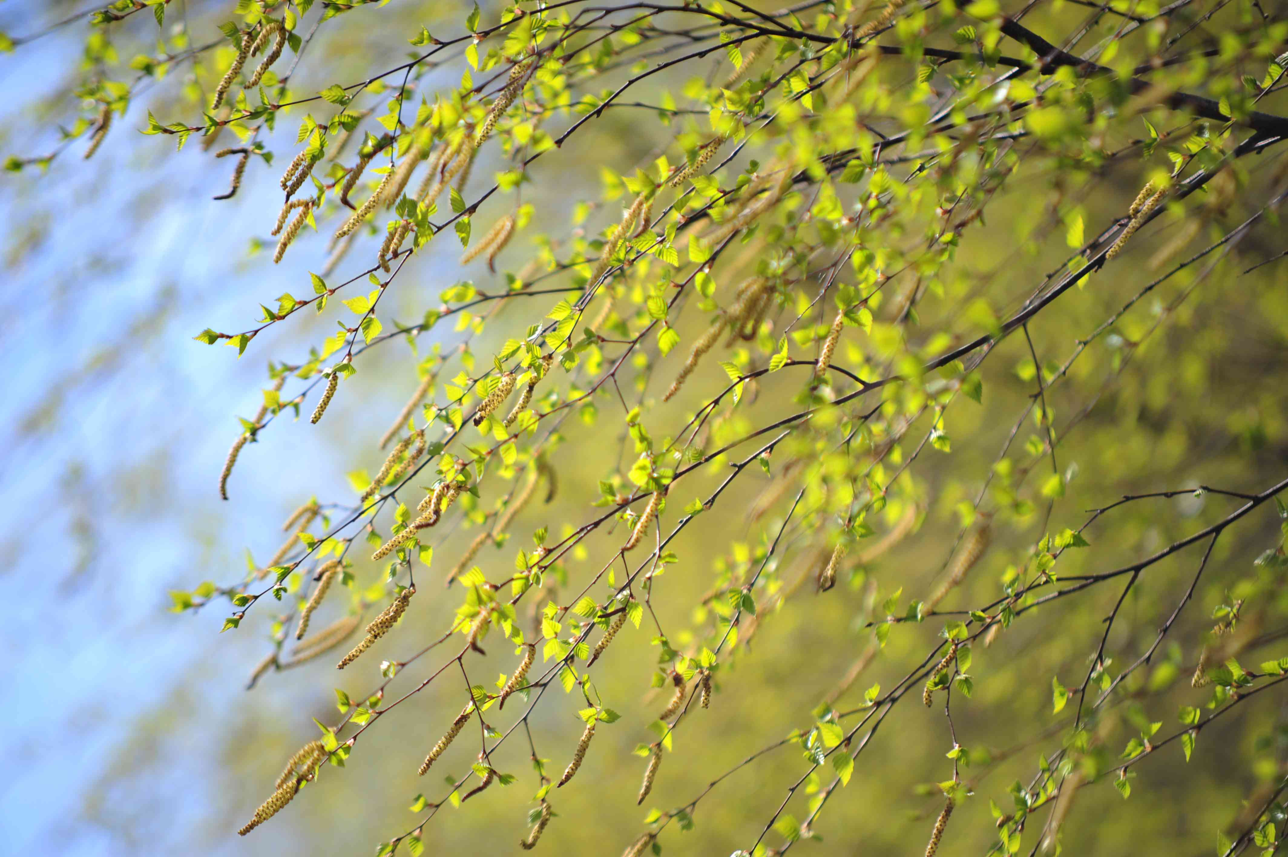 Silver birch tree branches with green leaf buds