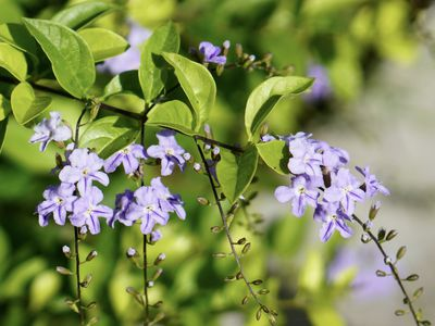 Duranta plant with violet flower clusters and buds on branch in sunlight