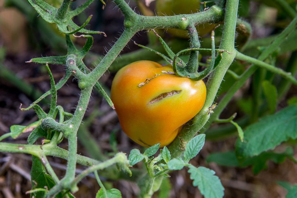 splitting tomato on the vine