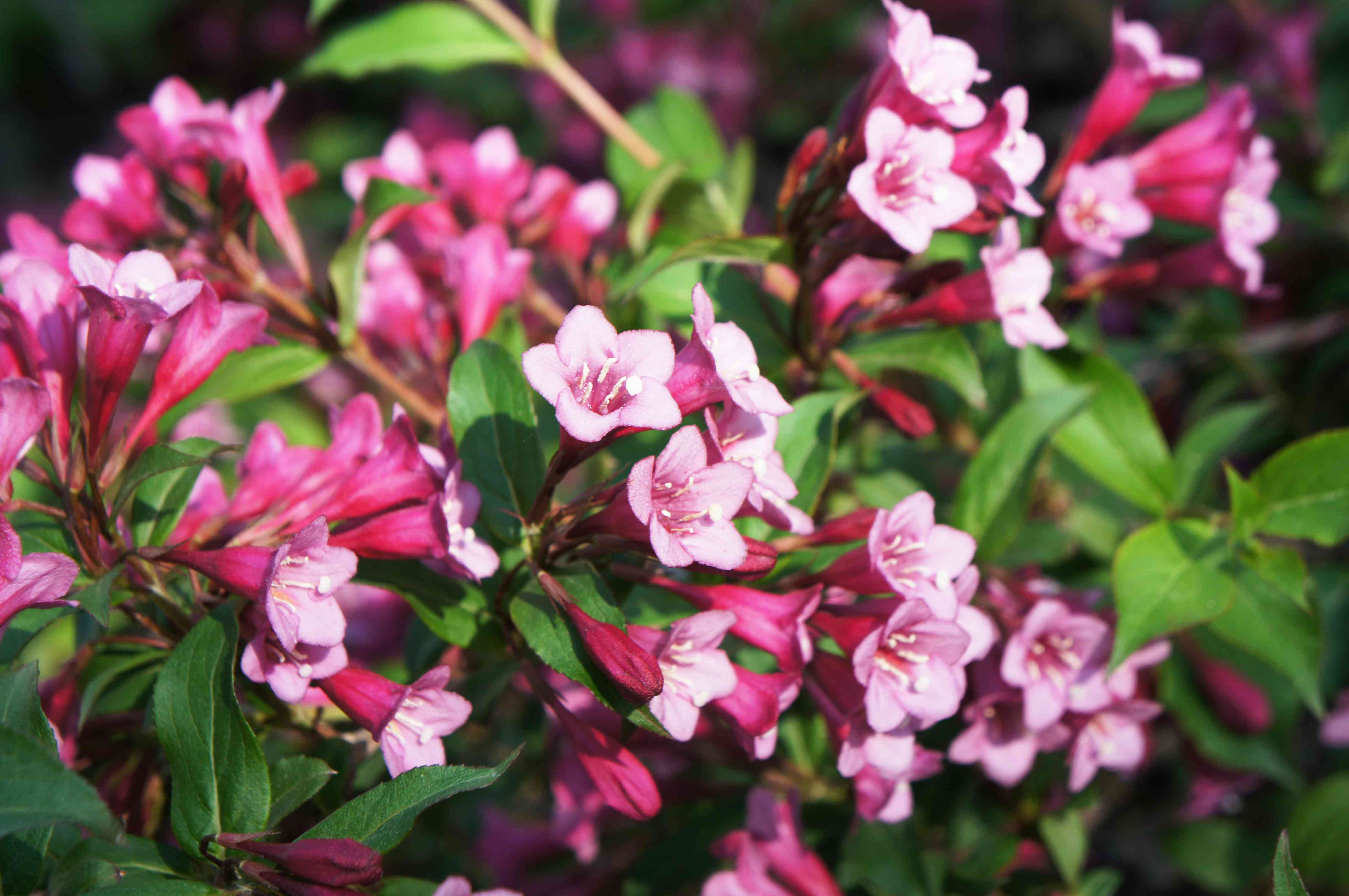 Weigela florida many flowers close up with green