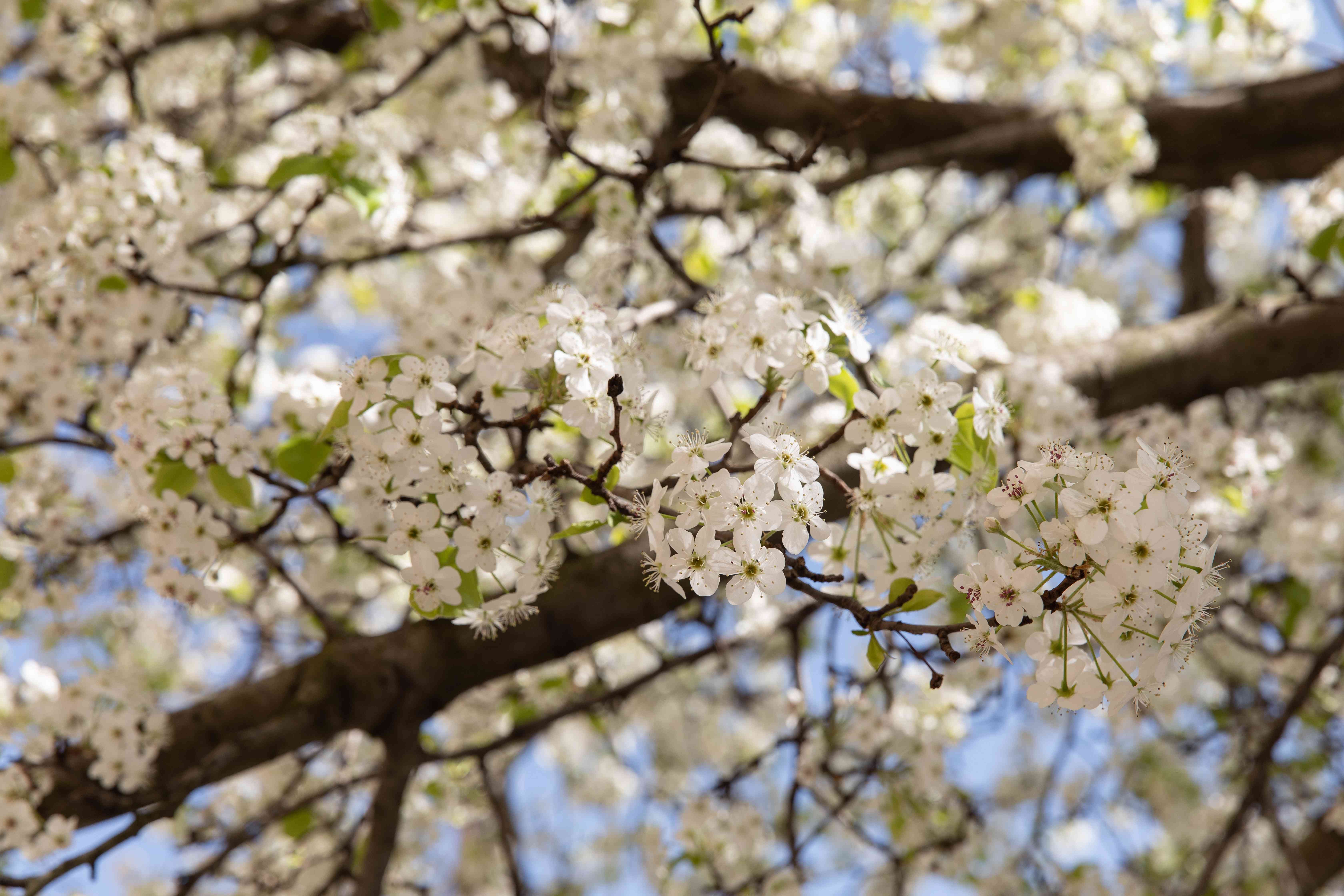 Calley pear tree branch with small white flower blossoms clustered together closeup
