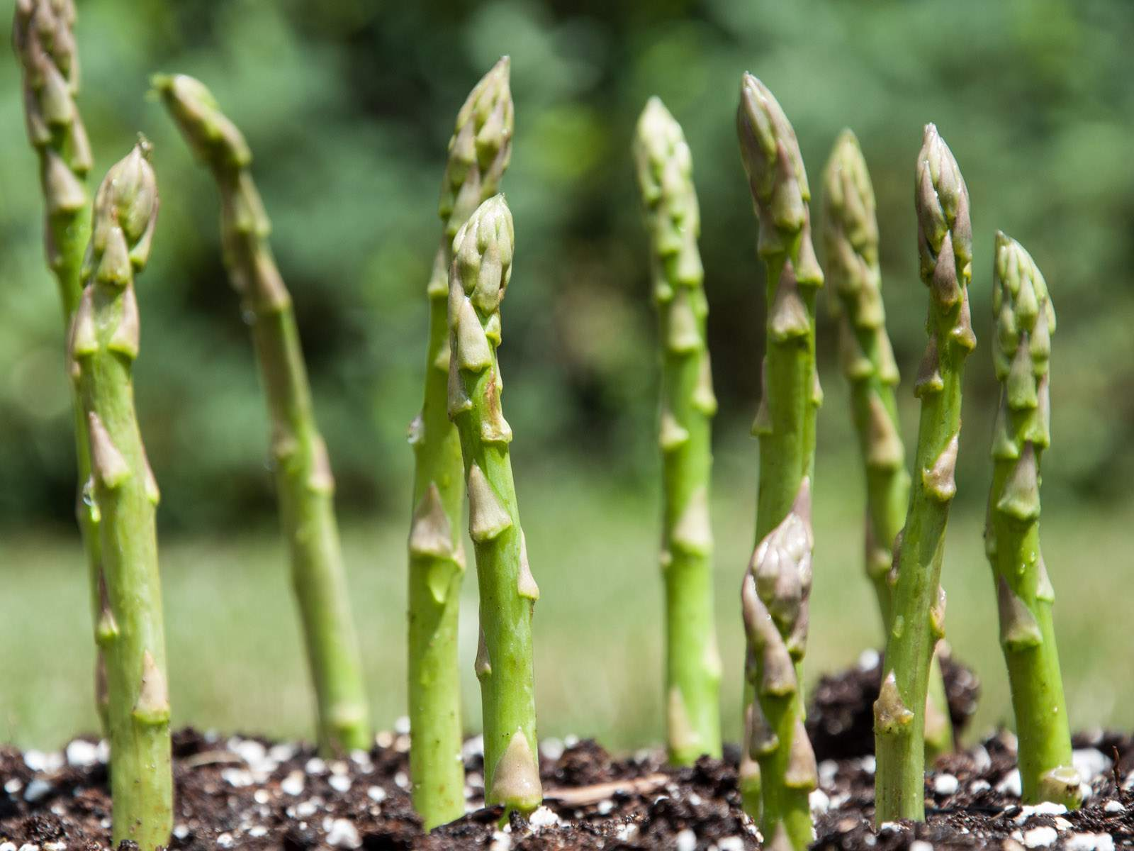 Rows of growing Asparagus