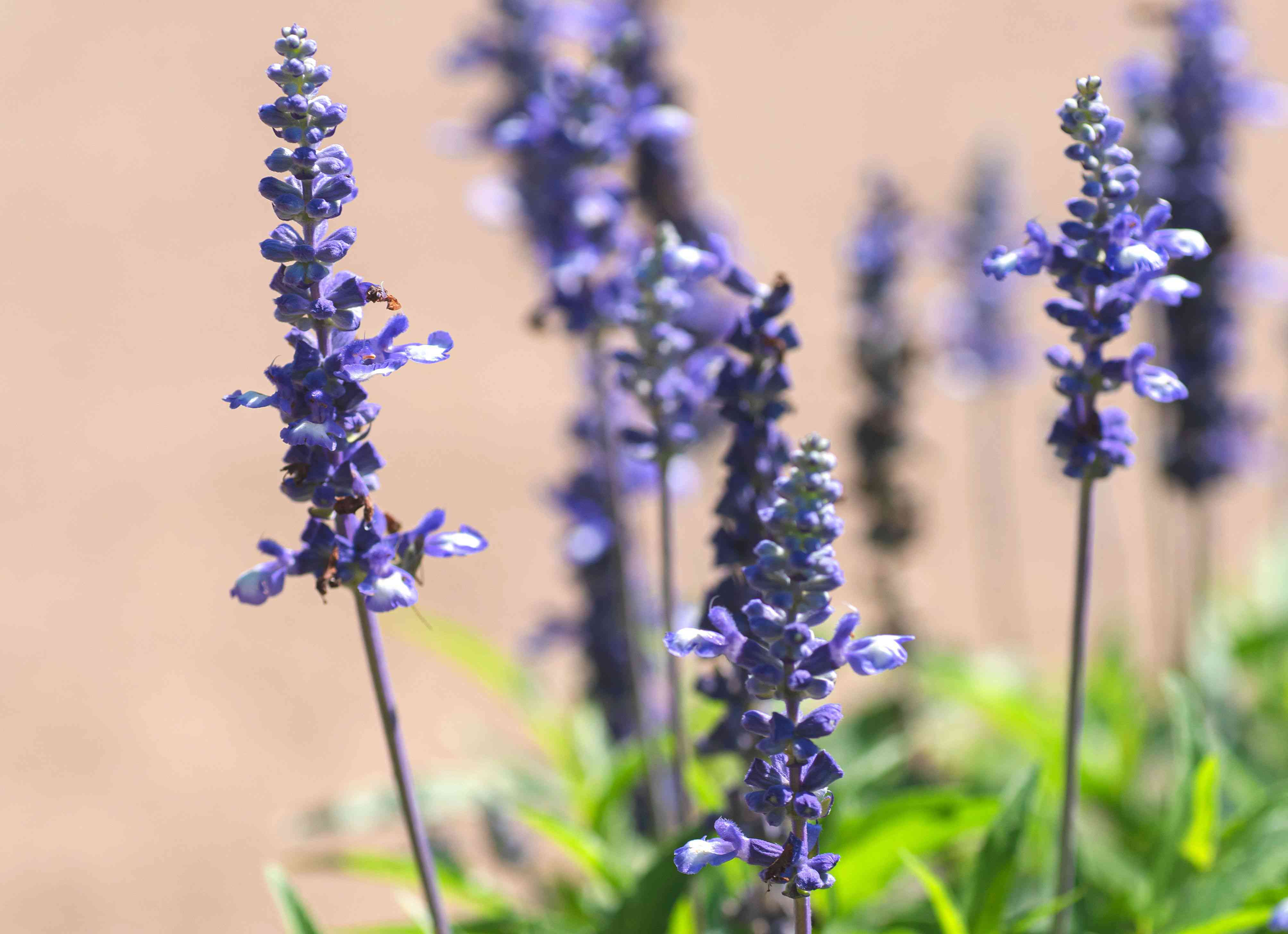 Victoria blue salvia with purple flowers on thin stems closeup
