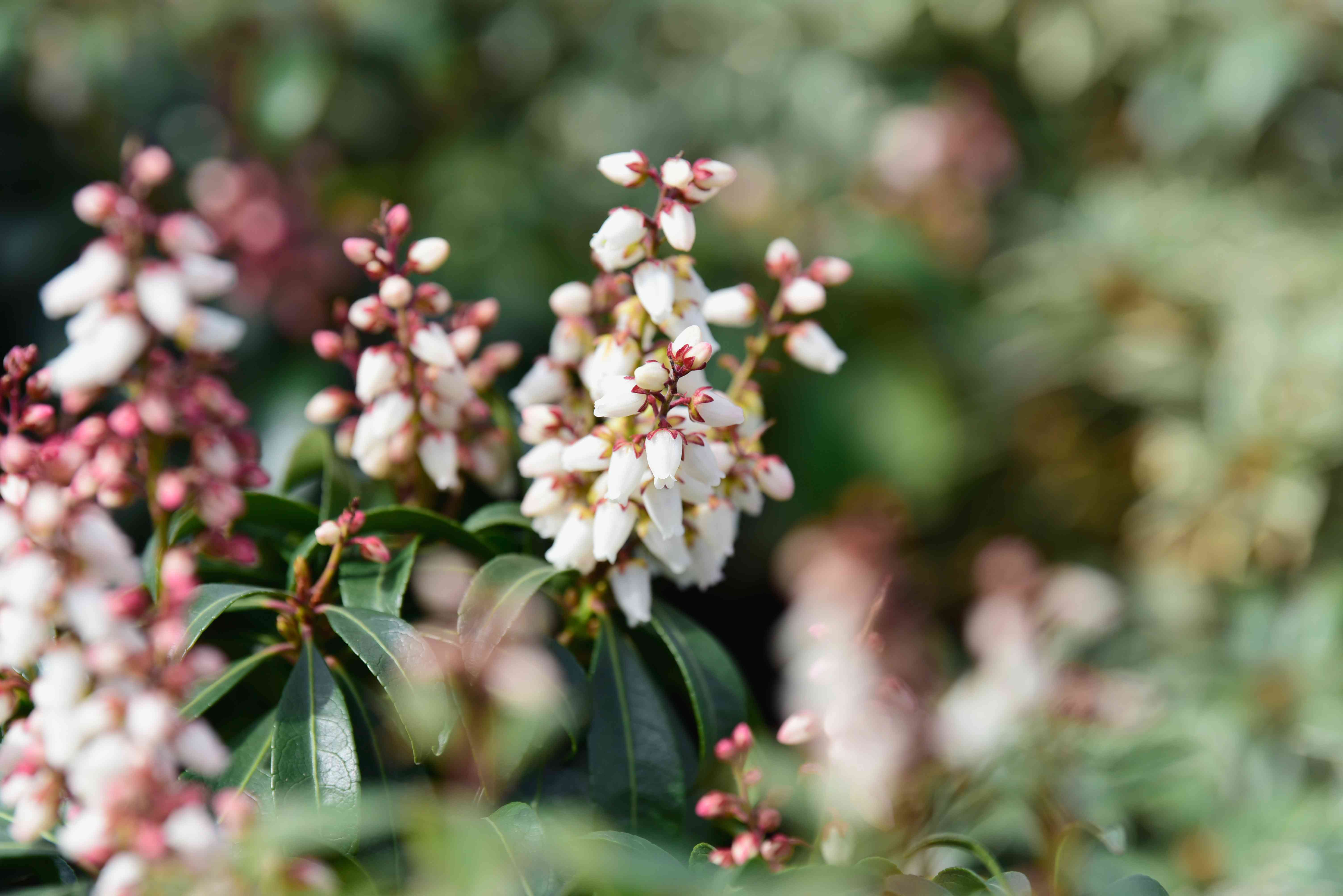 Japanese andromeda plant with white bell-shaped flowers on edge of stems closeup
