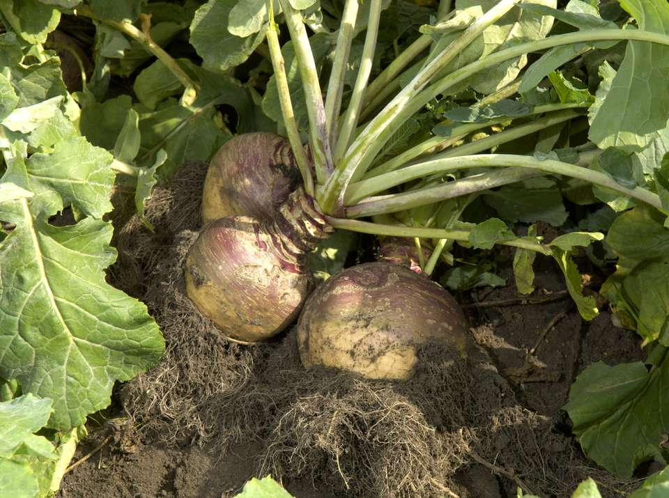Rutabaga growing in the ground