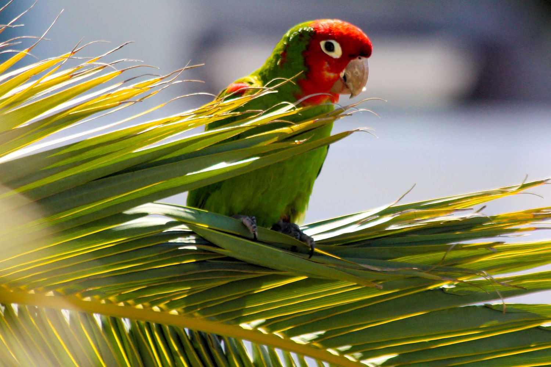 Feral Parrots in San Francisco