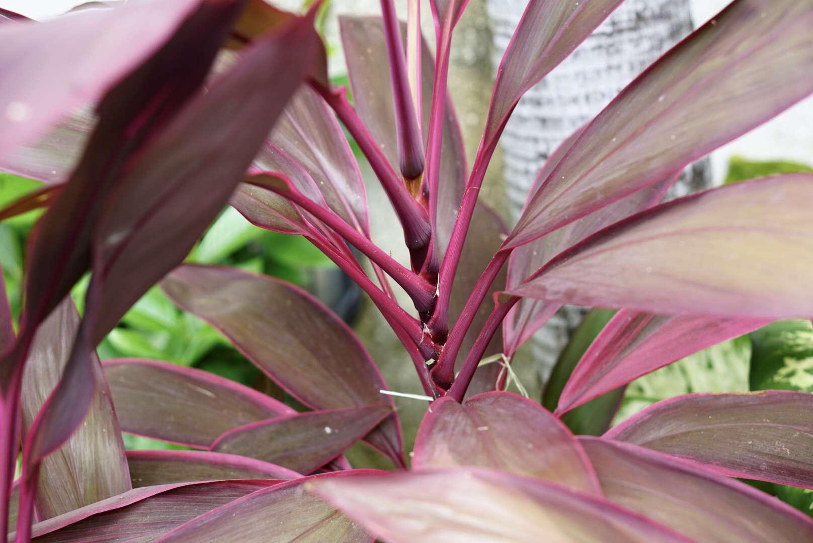 closeup of ti plant