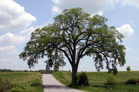 dutch elm disease and american elm trees
