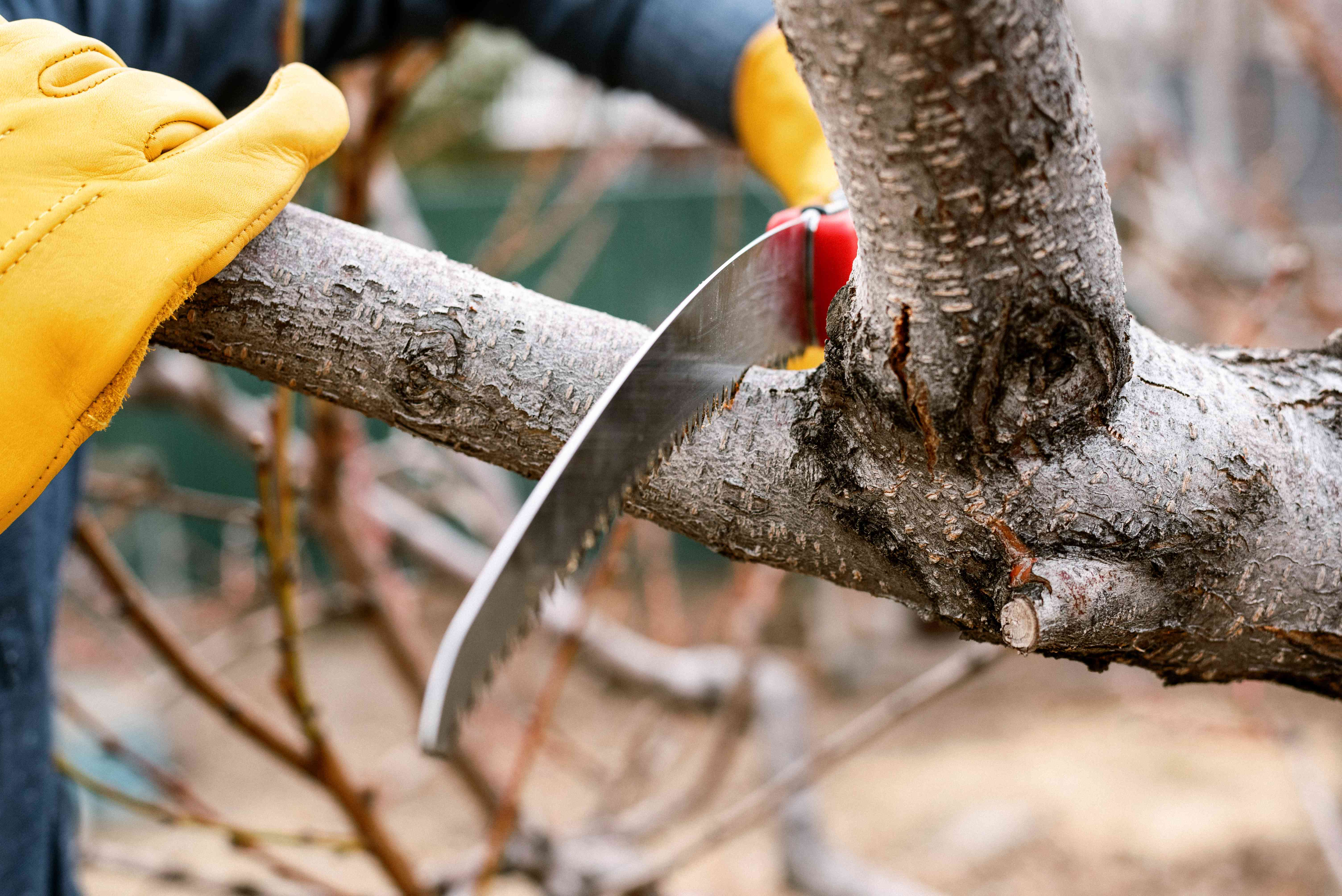 Srub branch being cut with pruning saw and held by hand on the end with yellow protective gloves