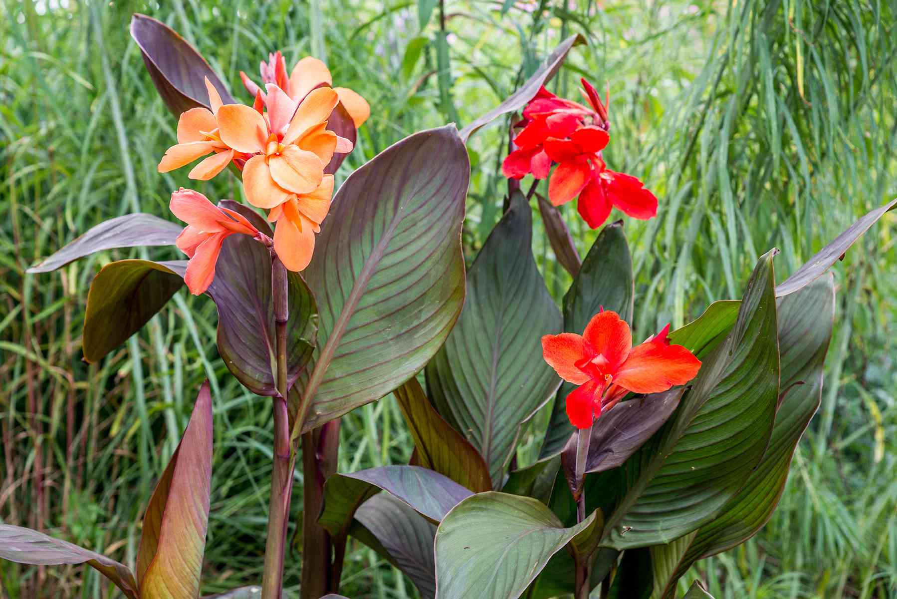 orange and red canna lilies