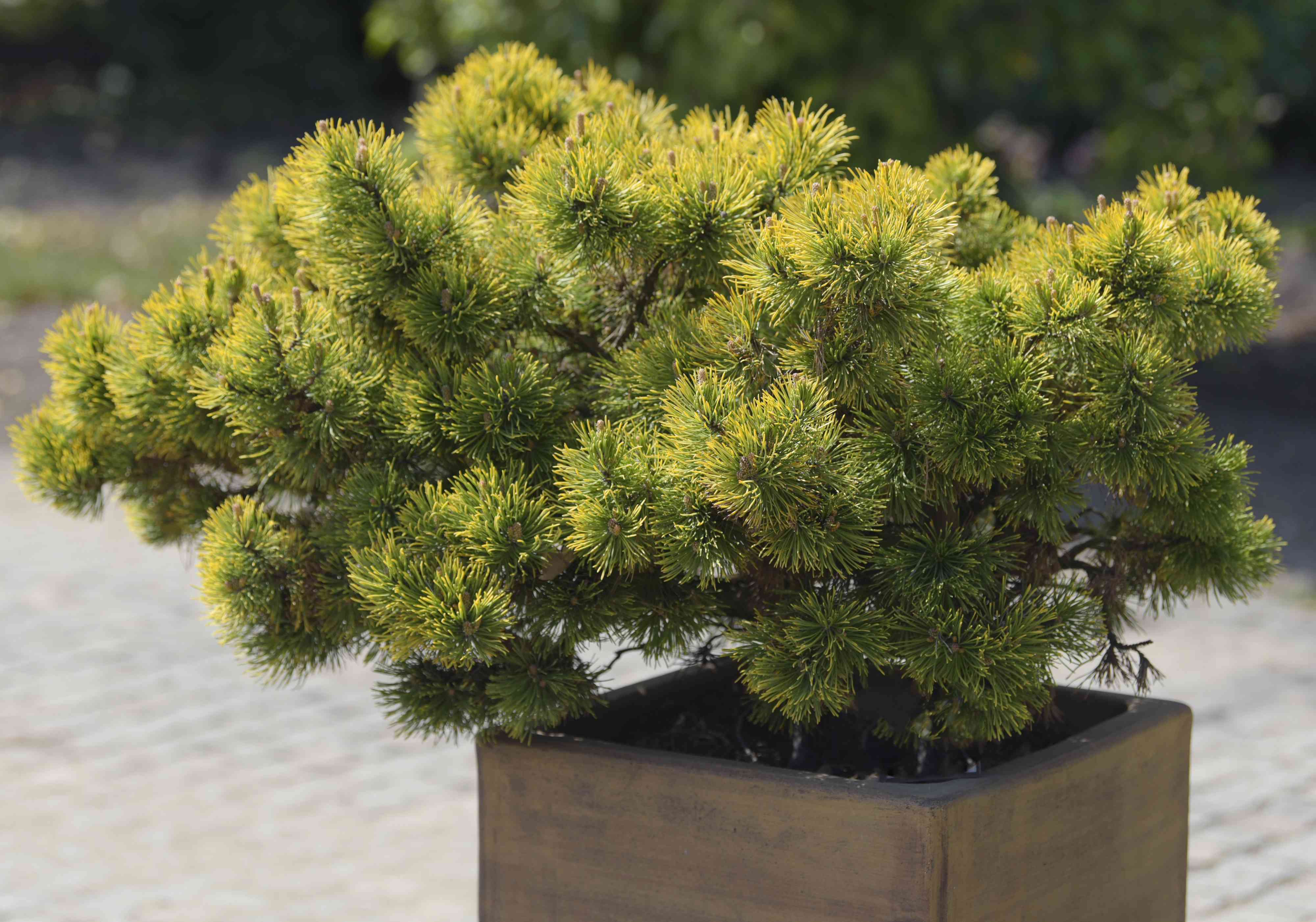 Dwarf Trees Are Ideal Choices For Small Yard Design