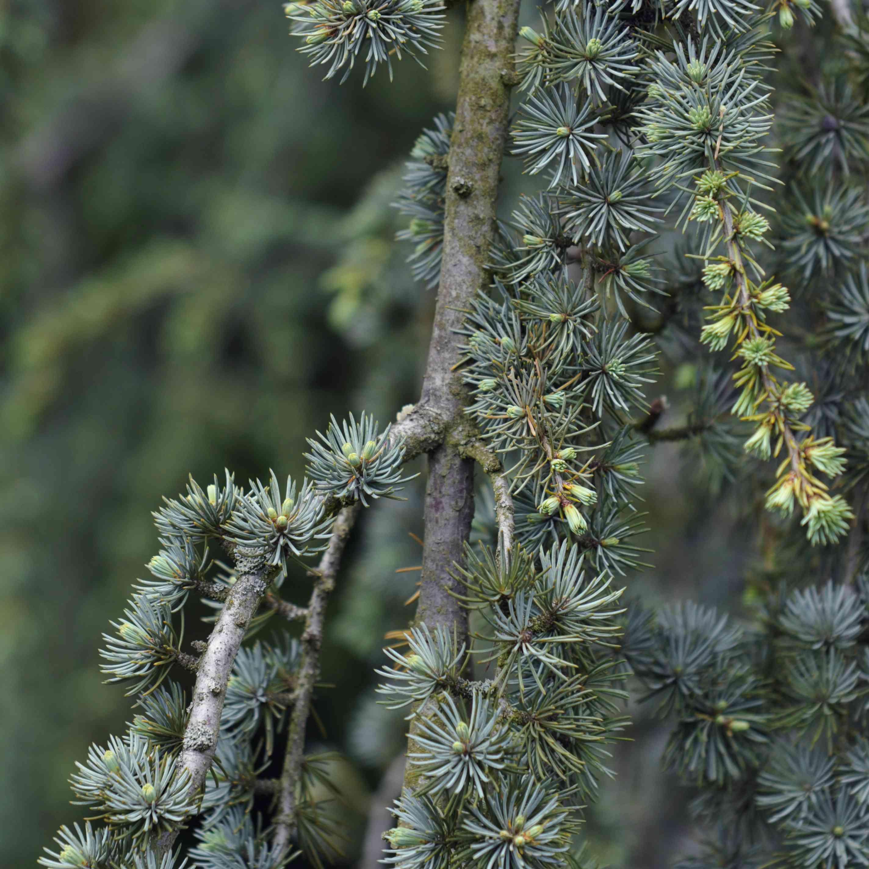 Blue atlas cedar with whorls and buds of evergreen needles closeup